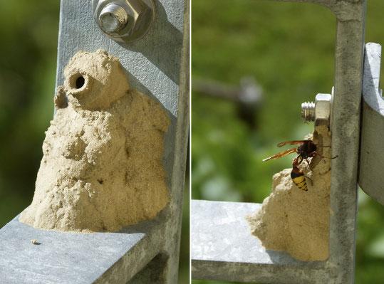 Töpferwespe beim Bau der Brutzelle aus Lehm. Fotos Peter Zahn