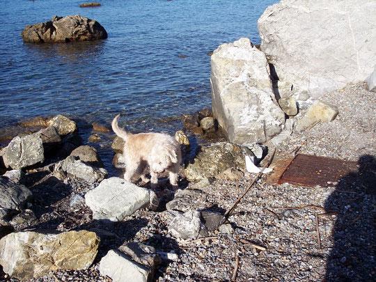 viale di antignano (cane da favollo)(FAVOLLO GRANCHIO PELOSO LIVORNESE)