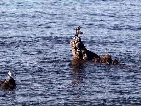 cormorano contento con amico gabbiano