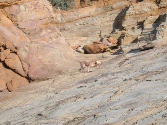 SCOGLI PIATTI (CALAFURIA) (il cane da favollo attacca)