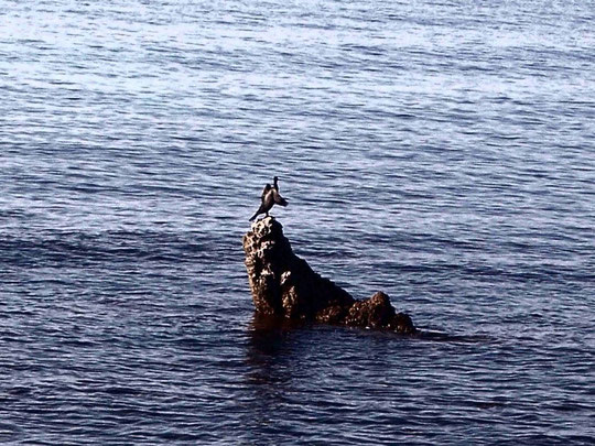 cormorano contento
