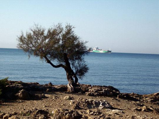 viale di antignano (albero solitario)