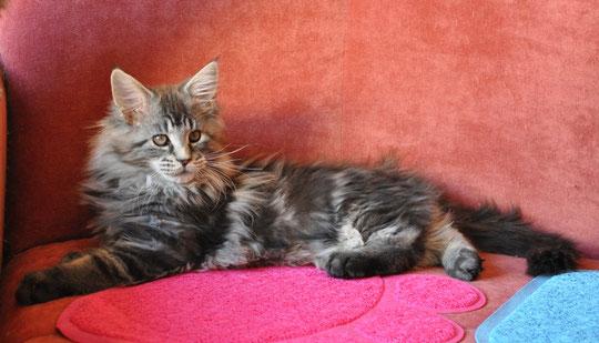 Котята мейн кун из питомника Nord-Westland