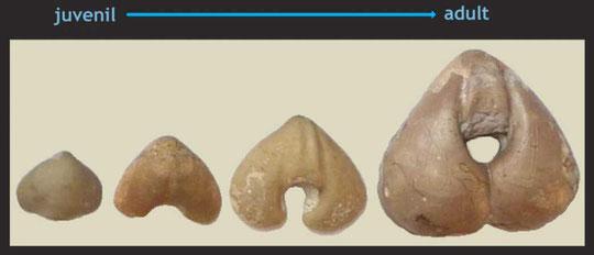 Pygites diphyoides, Unt. Kreide, Cehegin, Murcia, Spanien