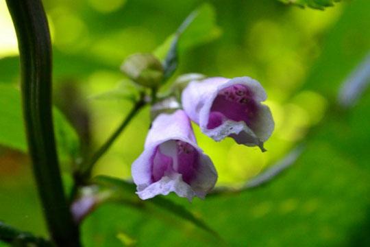 """先日、sasayannから""""この花なんの花""""とメールが届く。                        帰宅後調べてみるとジャコウソウ・・・どっかで見たことあるが思い出せない"""