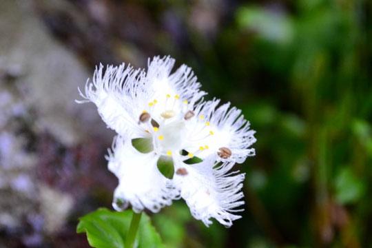 オオシラヒゲソウ・・・もう一つの目当てはこの花でした
