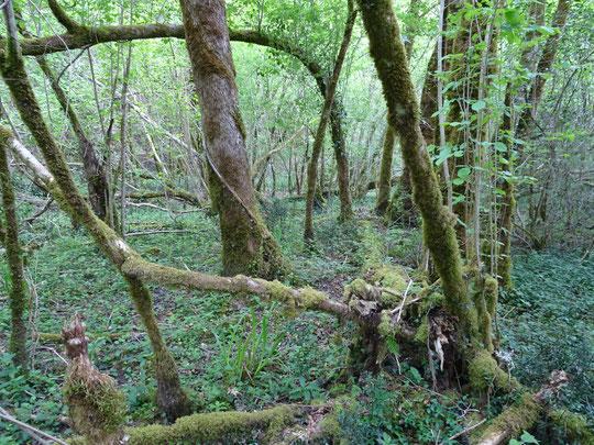 Vieille forêt au Bager d'Oloron, un espace naturel à protéger, c'est ce que s'évertue à faire l'association locale ACCOB