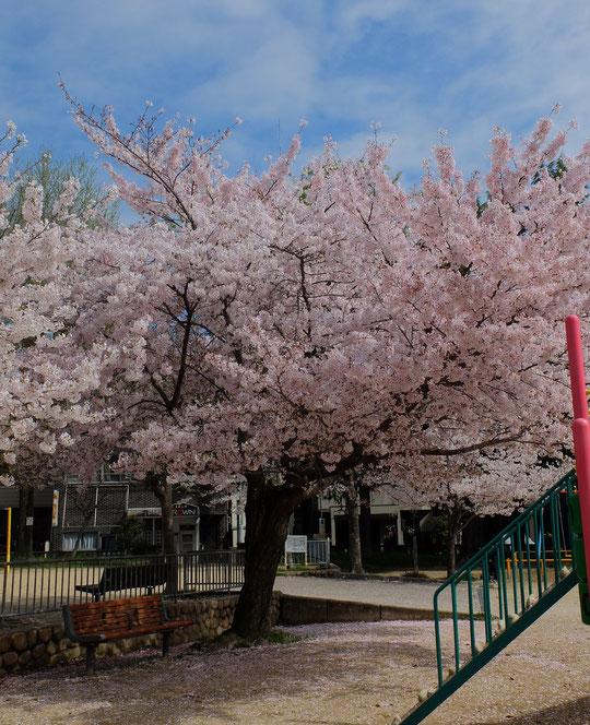 城南スター桜3本の中で、花の色がもっとも濃いこの木が実は樹齢が一番古そう