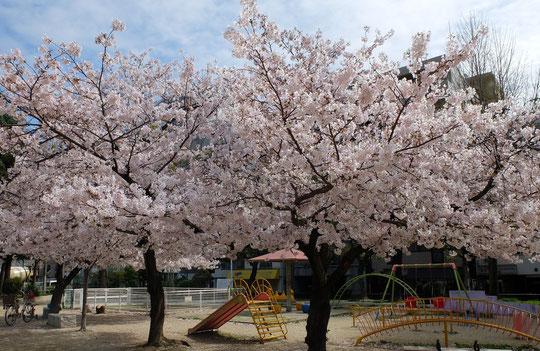 滑り台のあたりも桜に埋もれる