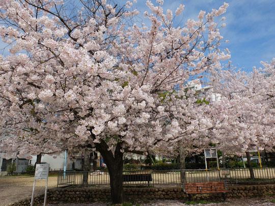 城南スター桜3本の真ん中に立つ木。たわわに咲く枝が前に張り出す