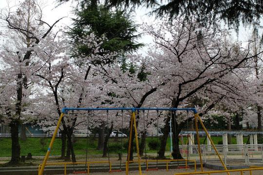 ブランコの後ろにずらりと並ぶ桜の木々