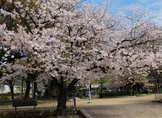 城南スター桜、向かって左の木。枝が左右に張り出し、豪華に見える