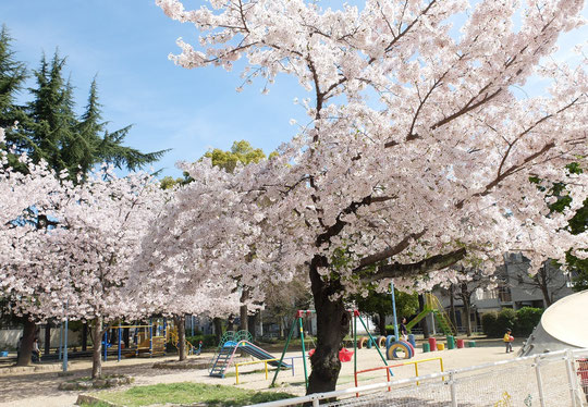 東小橋公園トップスターの桜の木