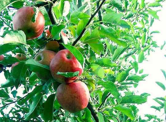 Manzanas de la Garniela. Año 2010. F. Merche. P. Privada.
