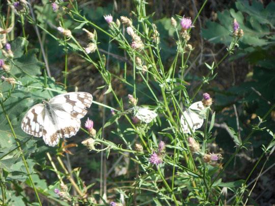 En primavera abundan.......... las mariposas y el campo se viste de colores. F. Merche.
