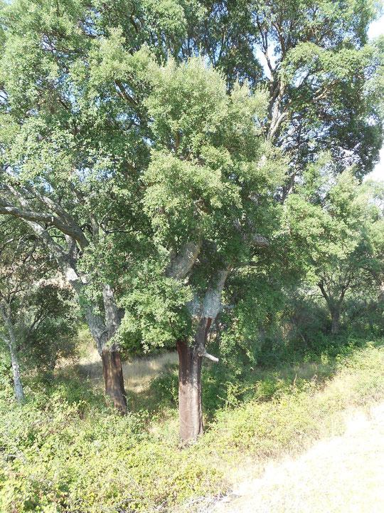 Los alcornoques son árboles autóctonos en mi pueblo. P. Privada.