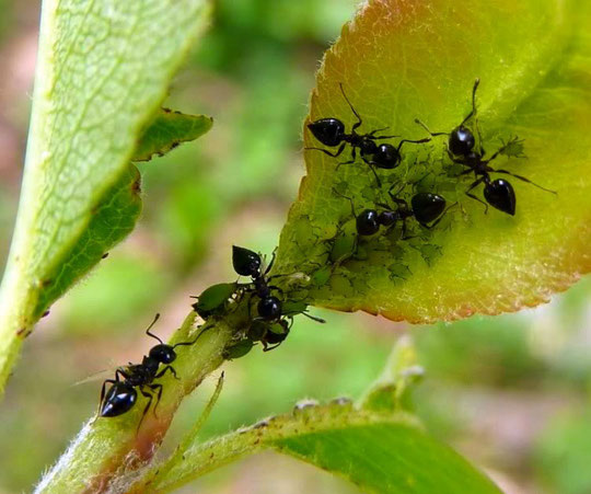 Hormigas. F. P. P.