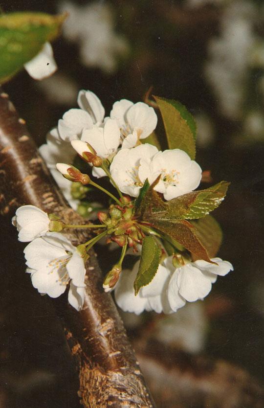 Flor de cerezo, huerto de la poza. Fotografia realizada por Merche.