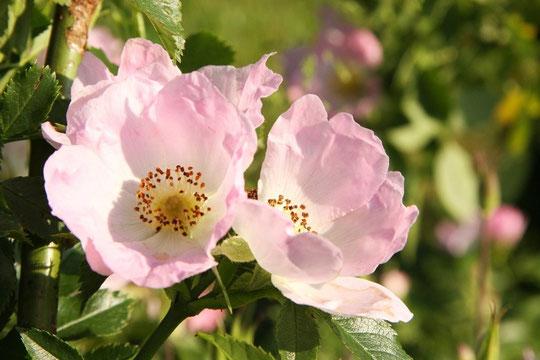 Rosal silvestre, detalle.