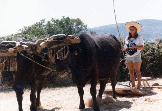 Yunta de vacas moruchas.