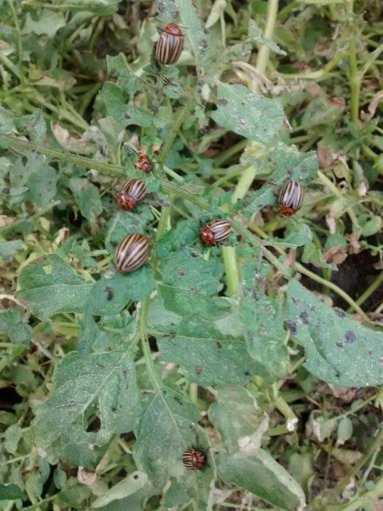 ¡ Y éstos han invadido nuestras patatas ! Foto de Merche.