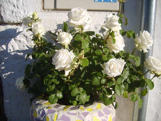 Rosal blanco en mi puerta, 2012. Merche. P. Privada.
