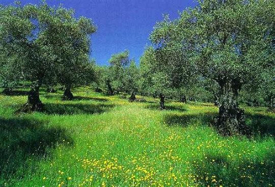 Olivar, ¡¡ primavera !! P. Privada.
