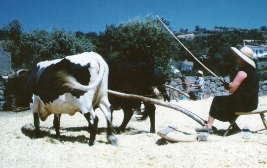 Paula y León trillando. Vacas jarda y morucha. F. de Merche. P. Privada.