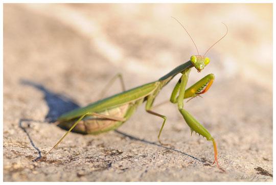 Mantis, el terror de mi infancia.