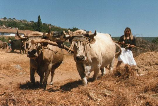 ¡ Estampa total !..........Las melenas que llevan las vacas sobre los ojos, son para que las moscas u otros insectos no les molesten y también poder sacudirse con ellas. Foto de Pedro. P. Privada.