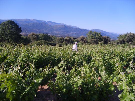 Preciosa estampa de Pedro revisando la viña. Foto de Merche.