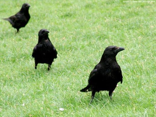 Cuervos. F. Merche. P. P.