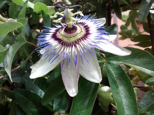 La Pasiflora o flor de la Pasión.