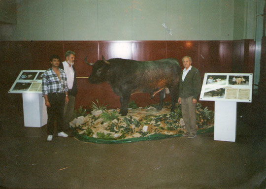 Pedro colabora en el montaje de un Victorino  en las Ventas.( Toro disecado. )