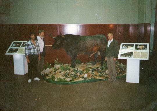 Pedro colabora en el montaje de un Victorino  en las Ventas.( Toro disecado. ) F. P. Privada.