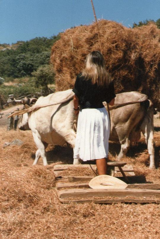 ¡ Vamos vacas girad a la derecha ! Foto de Pedro.