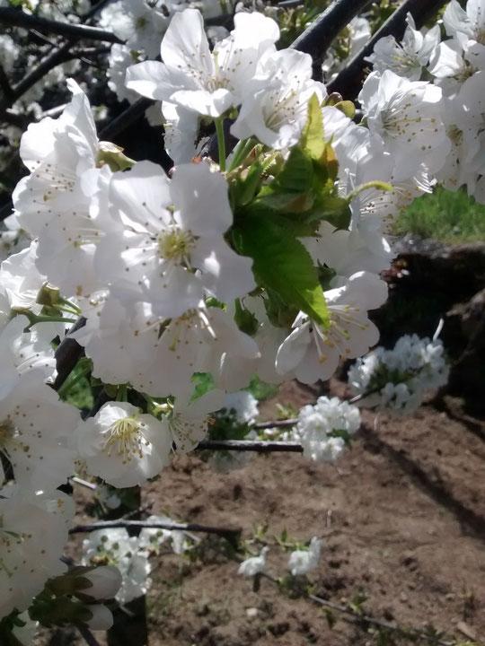 Flor de cerezo: detalle.