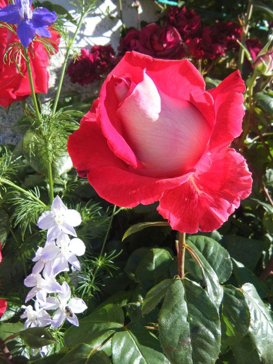 Era un jardín sonriente .........Era una tranquila fuente de cristal.................Y era, a su borde asomada...........Una rosa inmaculada..... De un rosal. F. Merche. P. Privada.
