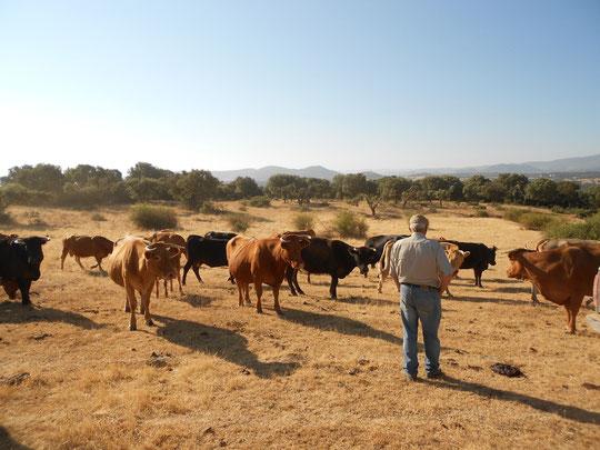 Vacas de Gaspa. F. Pedro. P. Privada.