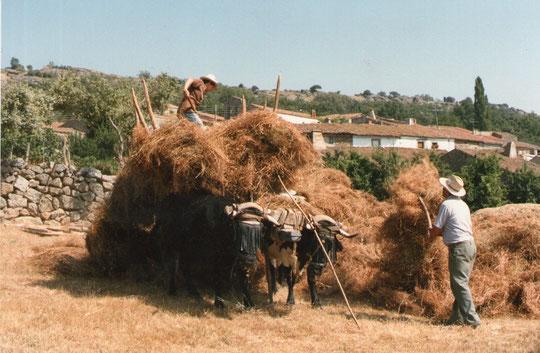 Descargando algarrobas 1. Foto de Pedro. P. Privada.