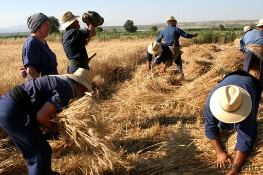 Escena de segadores con un elemento esencial para los campesinos: El botijo de barro !