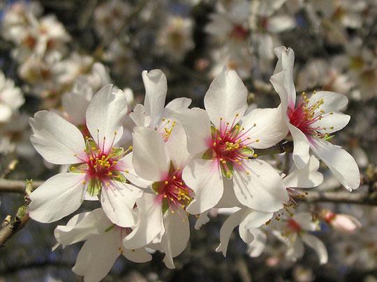 Flor de almendro: detalle.