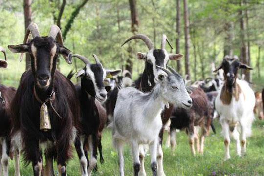 ¡ Qué lindo rebaño de cabras !