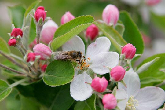 Flor de manzano: detalle.