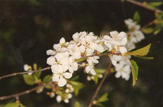Flor de guindo. Viña de yaya. Foto de Merche.