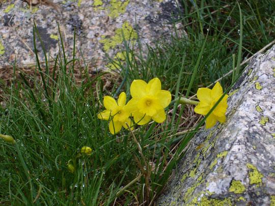 Narcisos silvestres. Merche. P. P.