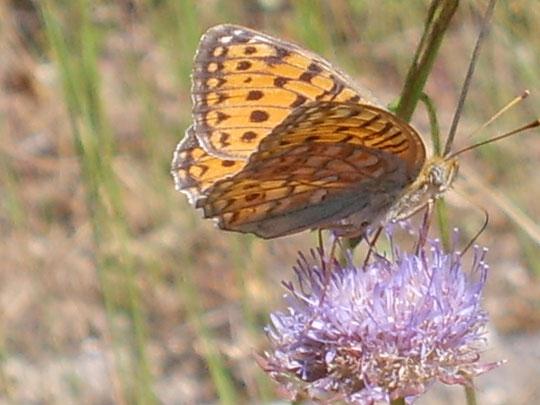 Mariposa sobre Azulina. Foto de Pedro.