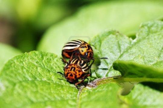 Estos escarabajos de la patata están............ ¡ muy animados !
