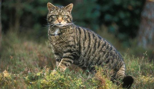 Gato Montés.