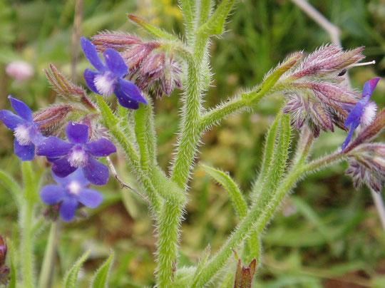 Flores de Borraja. Merche. P. P.